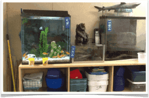 Aquaria in Cathy Guiley's classroom, Aptos, CA USA